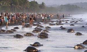Bờ biển Costa Rica dày đặc rùa đẻ trứng