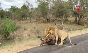 Sư tử tấn công mồi ngay trước mặt du khách ở Nam Phi