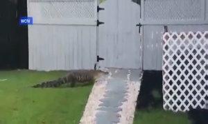 Cá sấu lên bờ gõ cửa nhà người dân ở Mỹ