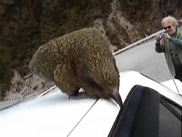 Vẹt chặn đường du khách