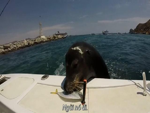 Hải cẩu nhảy lên thuyền đang chạy để xin ăn cá