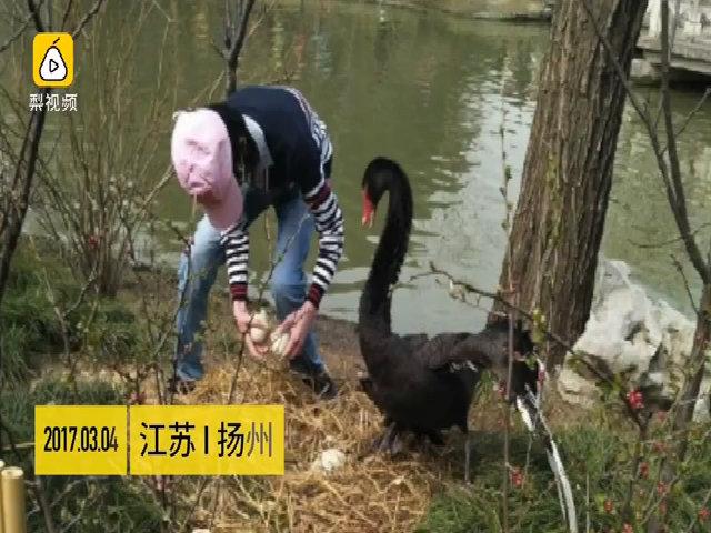 Khách Trung Quốc trộm trứng, đá thiên nga trong vườn thú