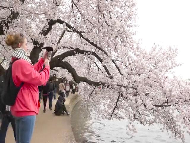 Hoa anh đào nở rộ ở Washington