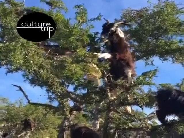 Những cây 'dê leo' kỳ lạ tại Morocco