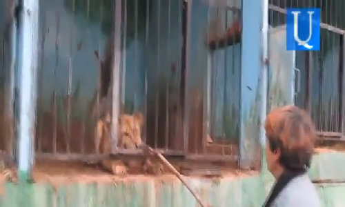 http://www.dailymail.co.uk/video/news/video-1245308/Shocking-footage-shows-lion-locked-tiny-cage-Arm