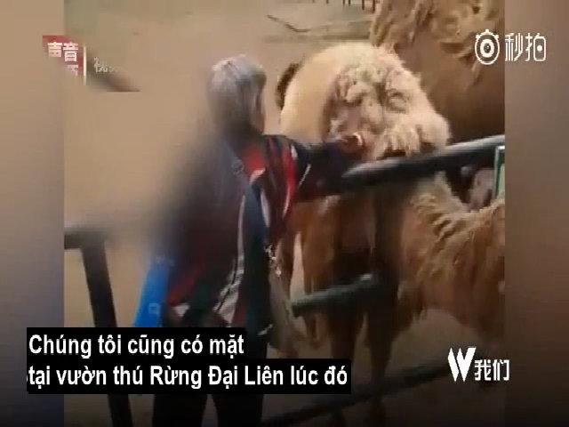 Khách Trung Quốc gây phẫn nộ vì giật lông lạc đà trong sở thú