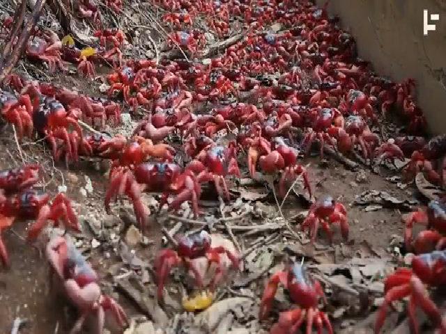 50 triệu cua đỏ bò kín đường trên đảo Christmas