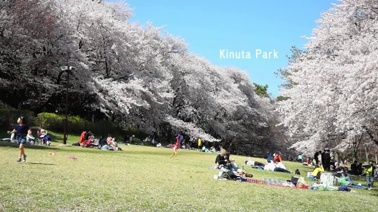 Dự báo lịch nở hoa anh đào ở Nhật Bản năm 2018