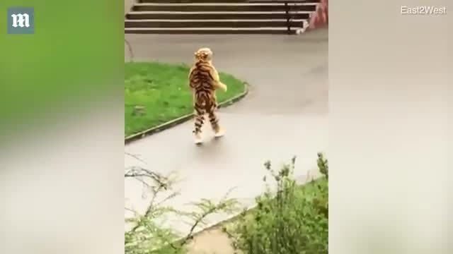 Vườn thú bị chế nhạo vì bắt nhân viên đóng giả hổ