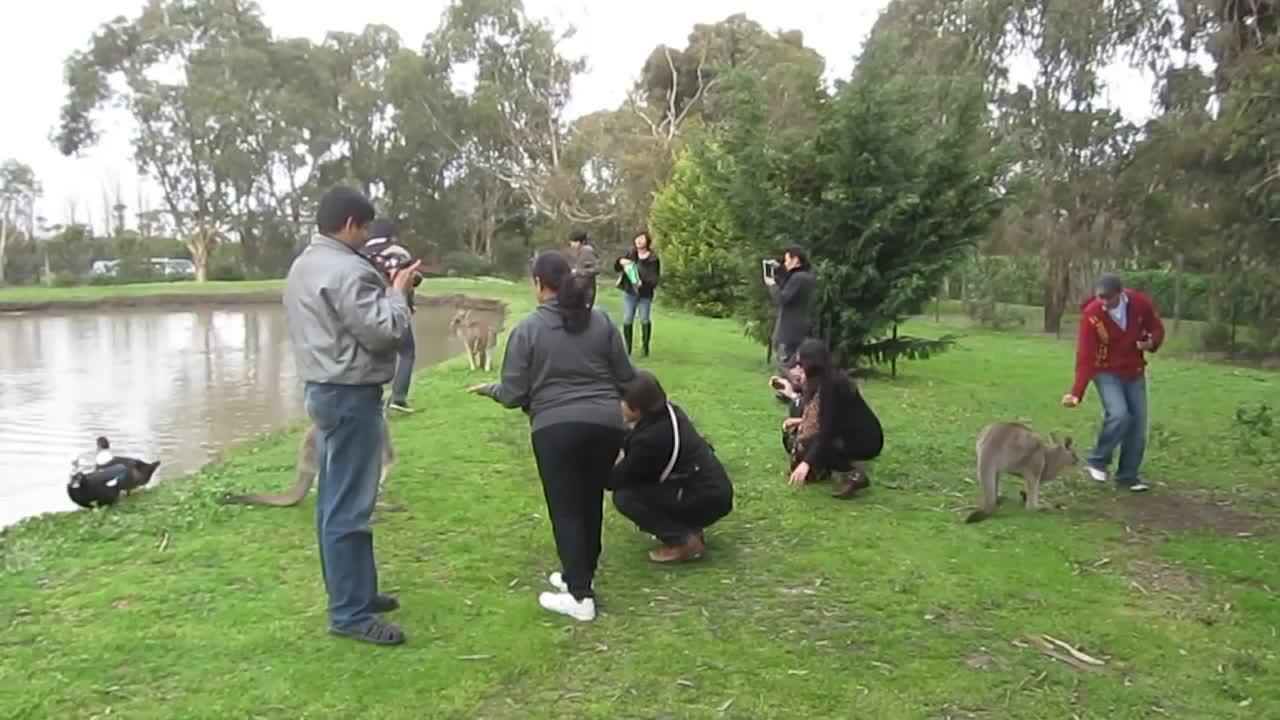 Hàng nghìn người rước họa vào thân khi dụ kangaroo ăn ở Australia