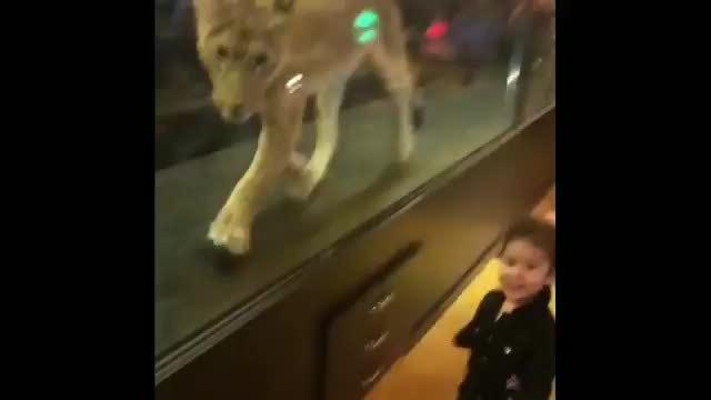 Quán cà phê Thổ Nhĩ Kỳ nuôi sư tử trong lồng kính để hút khách