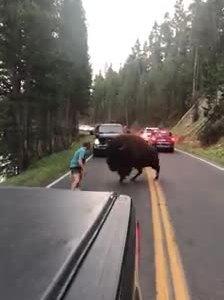Xua bò rừng chắn đường, du khách chạy thục mạng vì bị đuổi