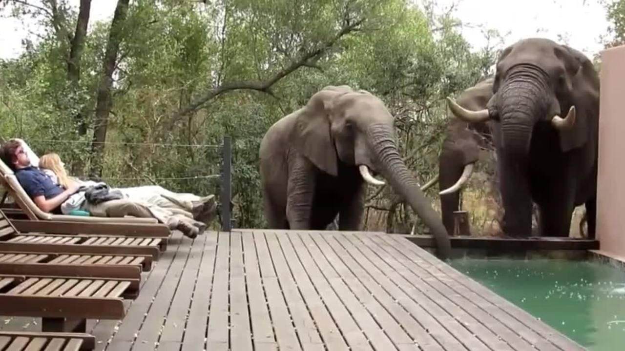 Khách sợ cứng người khi đàn voi rừng ghé bể bơi uống nước