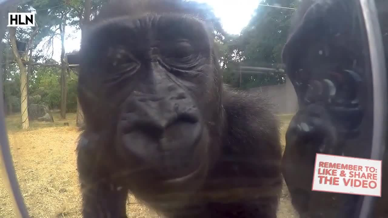 Phản ứng của khỉ đột thấy máy quay giấu kín trong sở thú