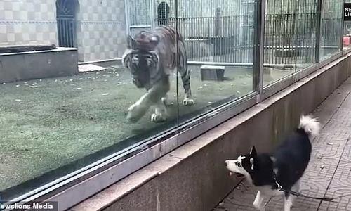 Vào vườn thú, chủ bật cười nhìn chó vờn nhau với hổ
