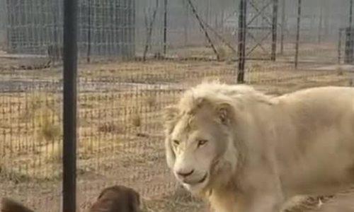 Chó và sư tử