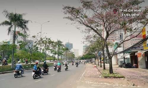 Hoa kèn hồng giữa lòng Sài Gòn