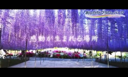 Mùa hoa tử đằng Nhật Bản