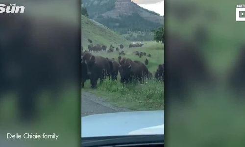 Du khách mất oan 10.000 USD vì bị bò rừng phá nát xe