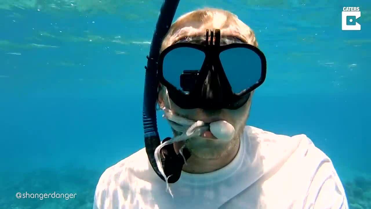 Bạch tuộc chui vào miệng khách lặn