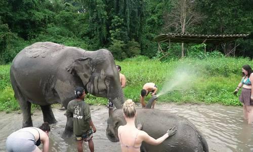 Tắm và massage cho voi ở Chiang Mai