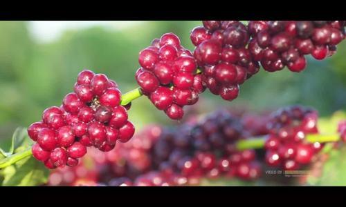 Mùa thu hoạch cà phê Gia Lai