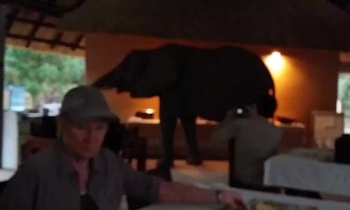 Khách đông cứng vì sợ khi voi tiến tới bàn ăn