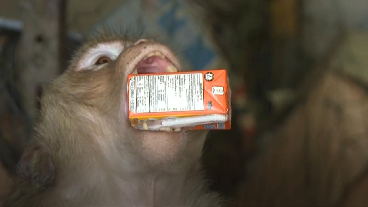 Hếtkhách cho ăn, khỉ hoang náo loạn thành phố