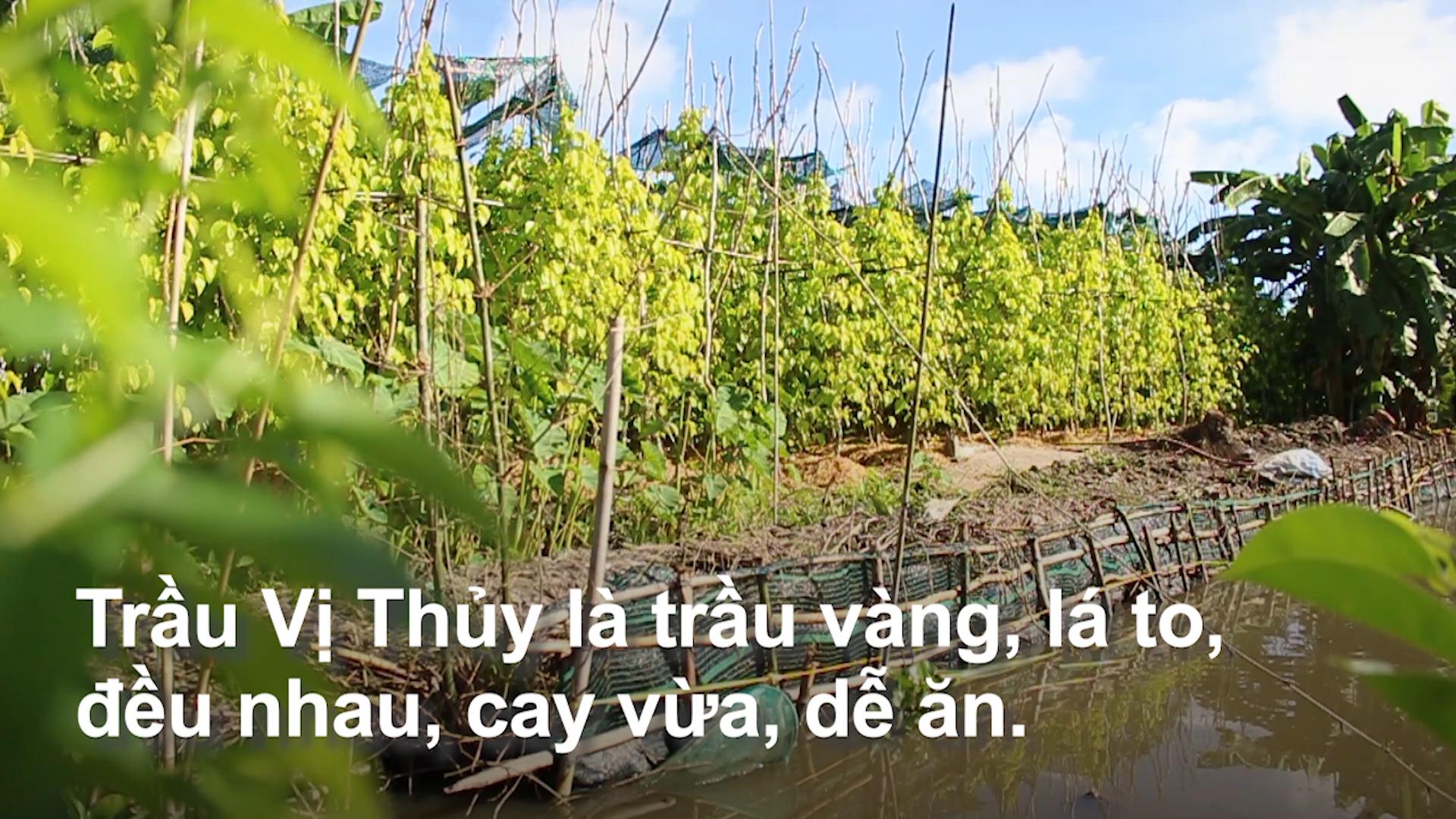 Vương quốc trầu lá của Việt Nam
