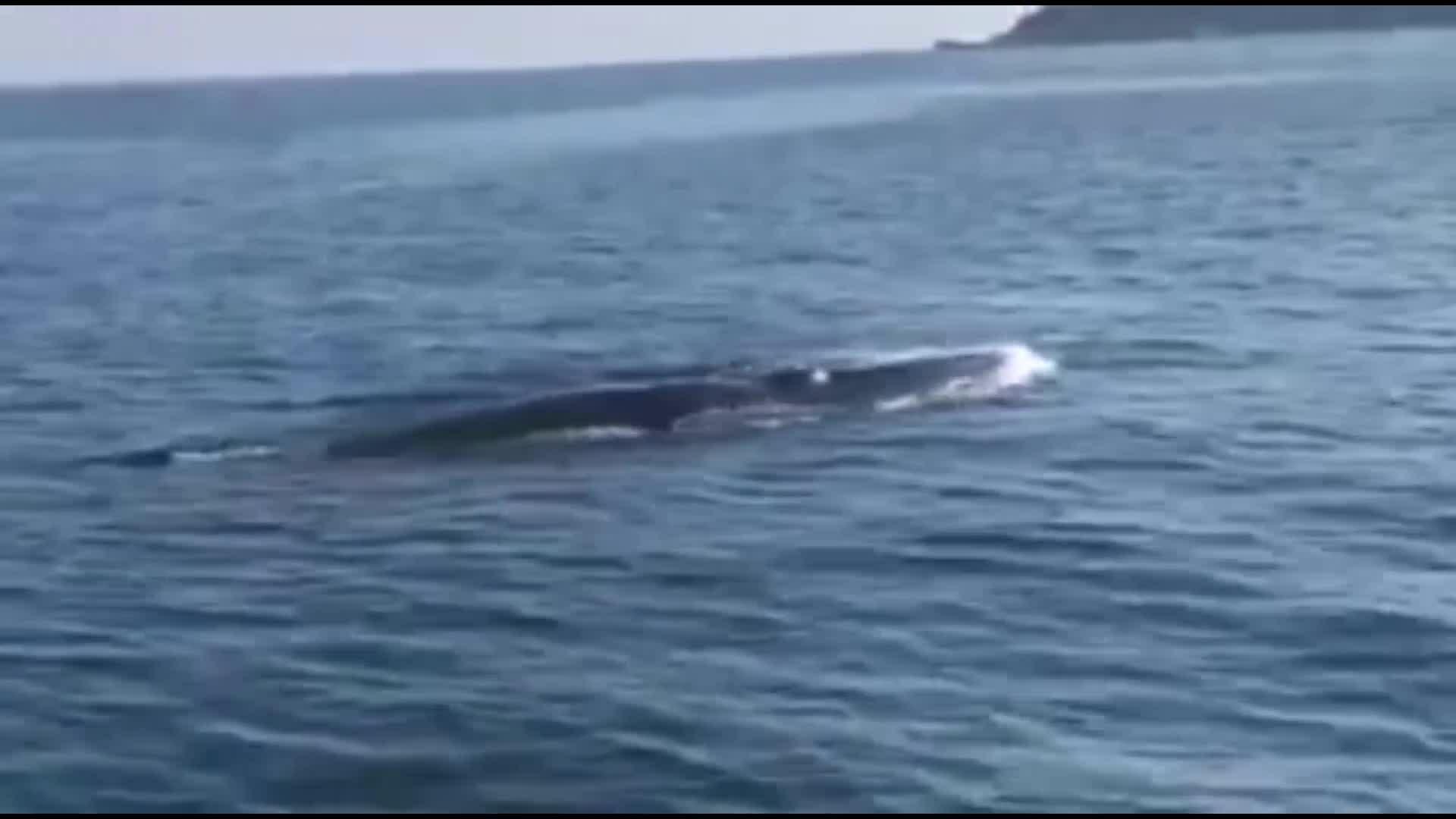 Cá voi bơi trên vùng biển Cù Lao Chàm
