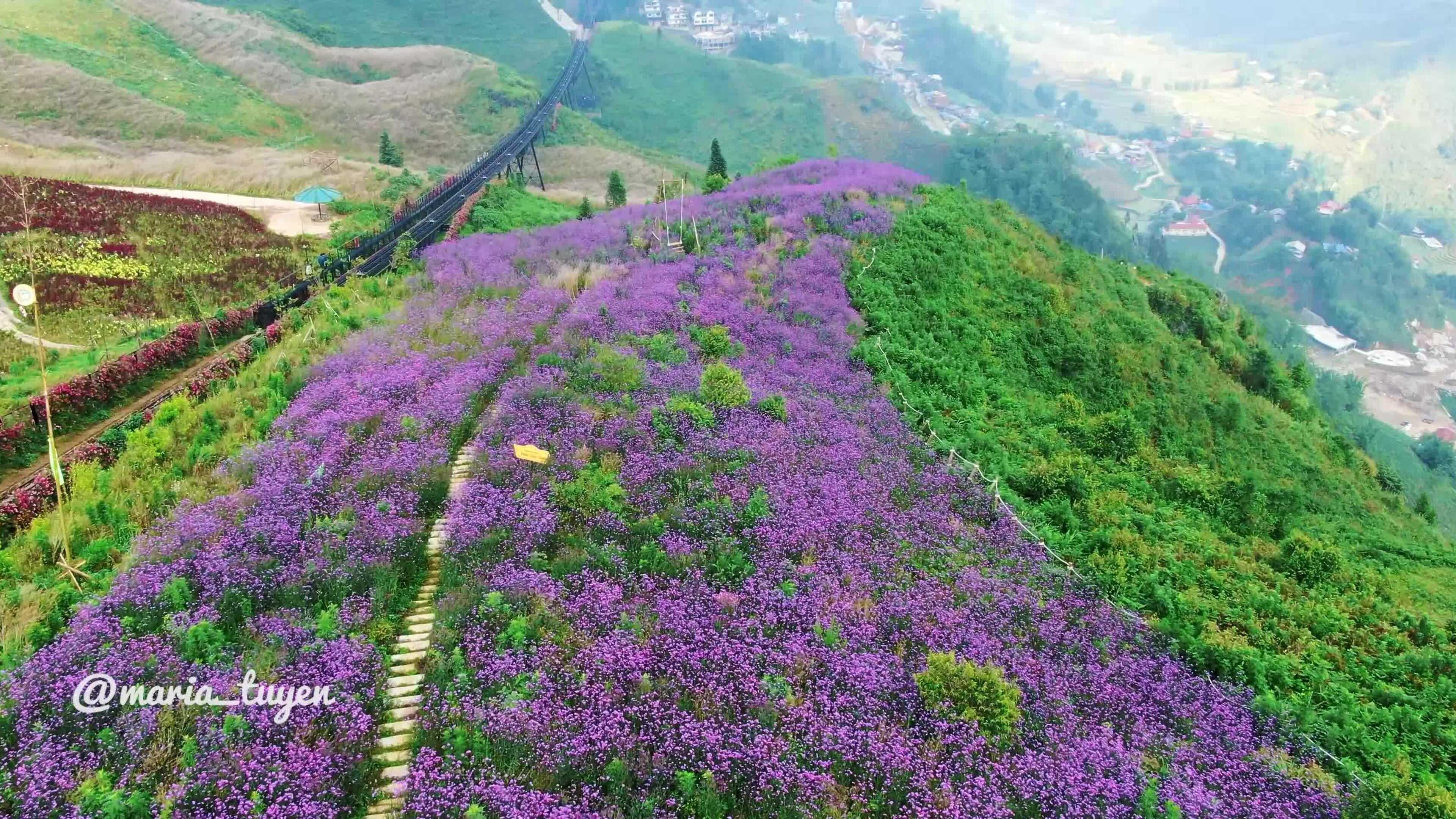 Hoa mã tiền thảo nhuộm tím sườn núi Sapa