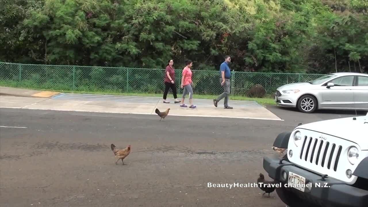 Hòn đảo gà chạy đầy đường nhưng không ai bắt