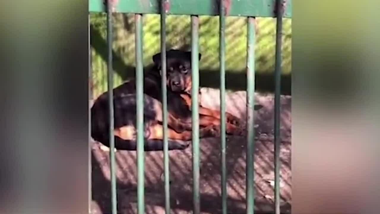 Sở thú Trung Quốc giới thiệu chó là sói