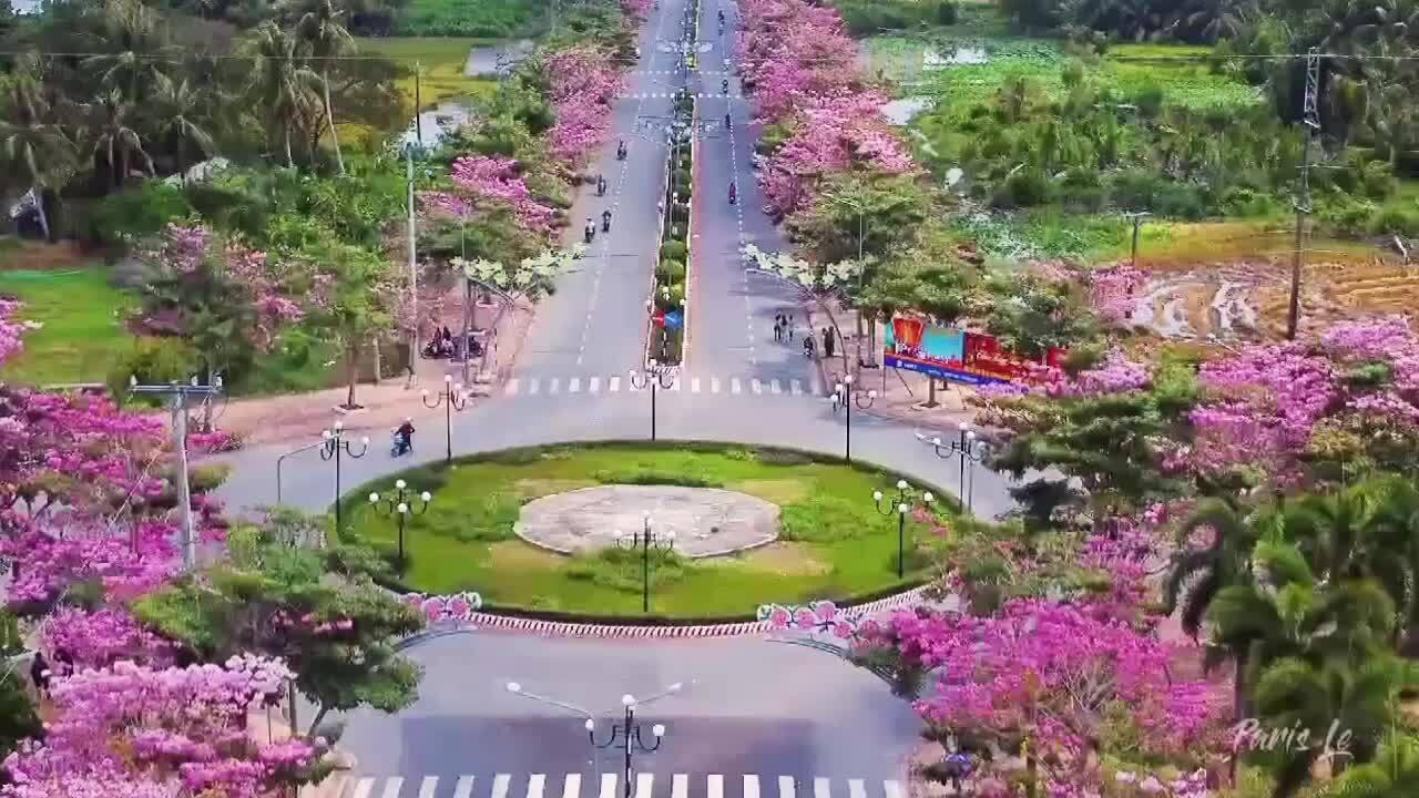 Con đường 160 cây kèn hồng lại khoe sắc