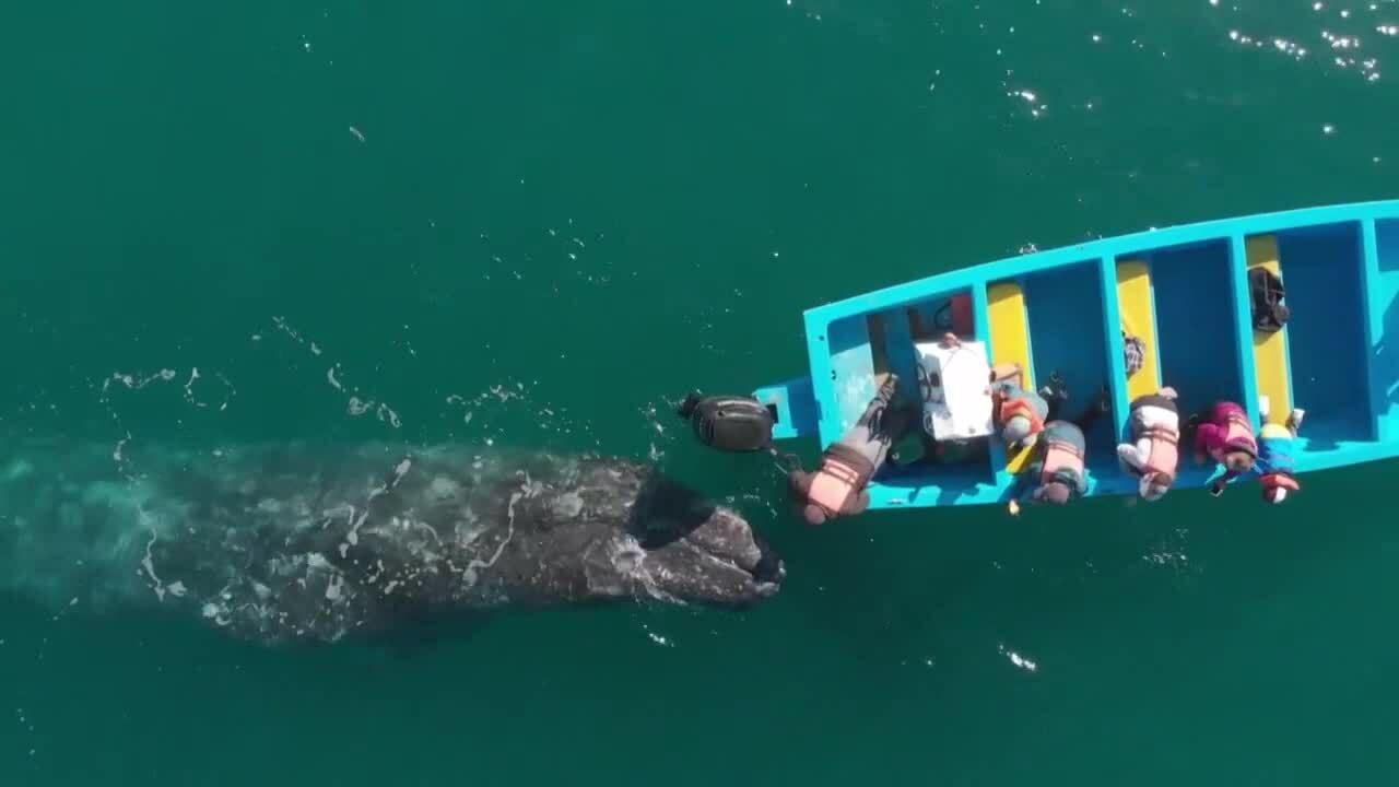 Cá voi xám hút khách du lịch ở biển Mexico