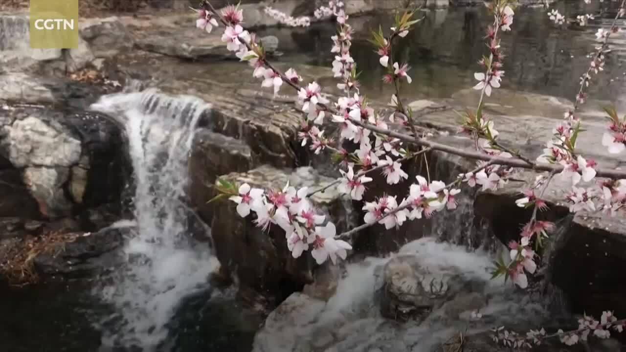 Bức tranh xuân khi hoa đào bung nở