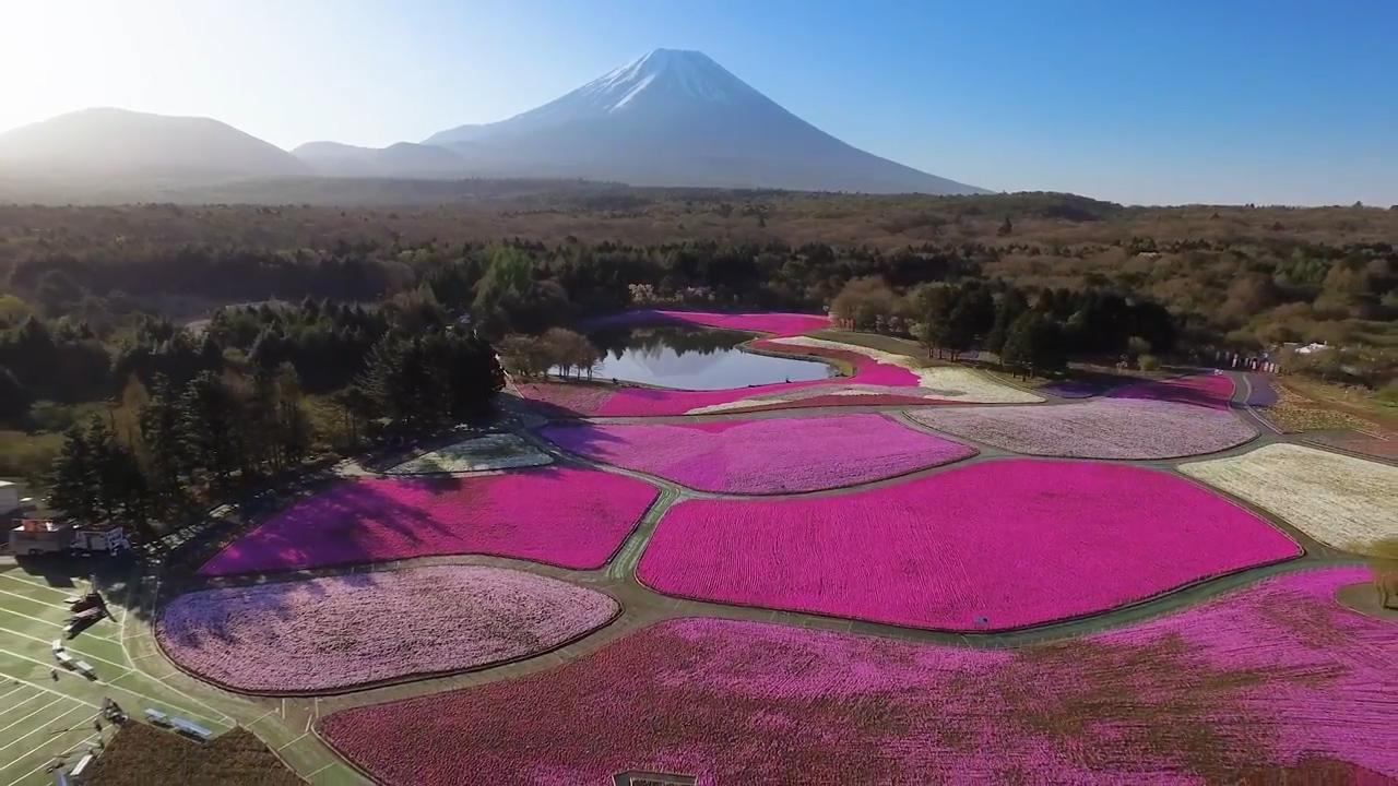 Thảm hoa màu hồng dưới chân núi Phú Sĩ