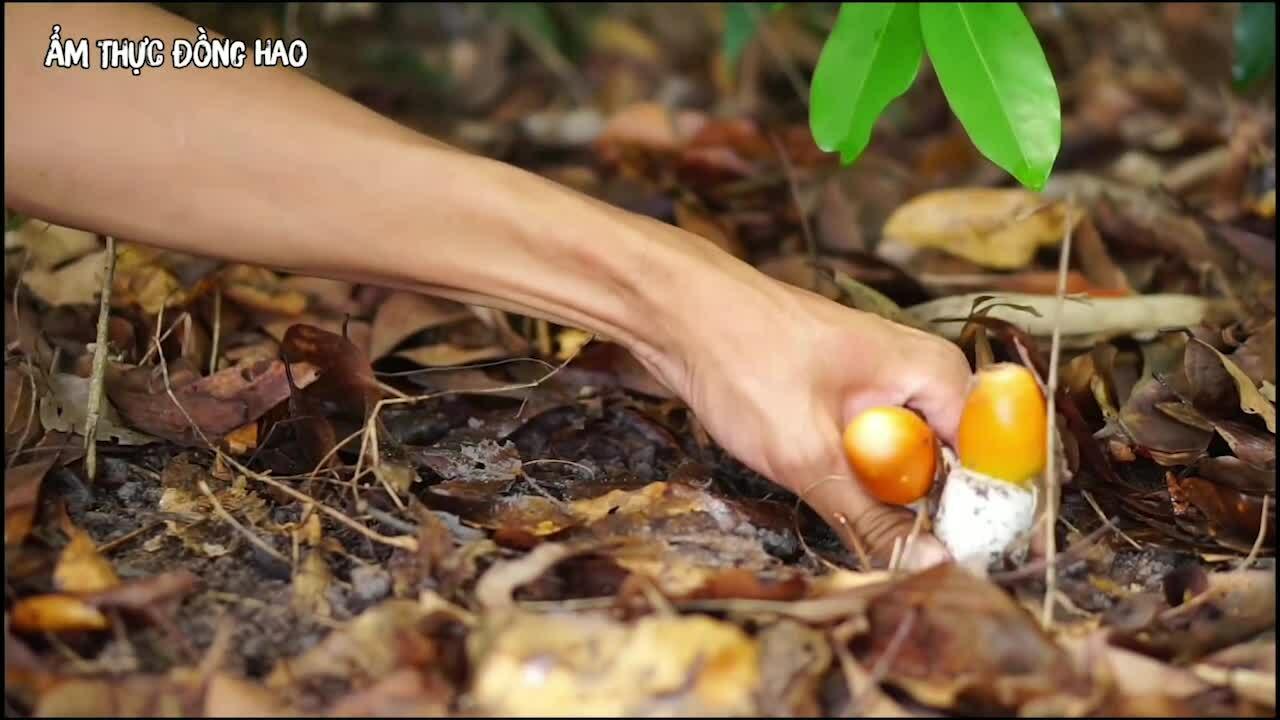 Săn nấm trứng gà trong rừng già Bình Phước