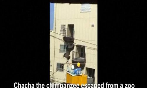 Dramatic capture of chimp in Japan