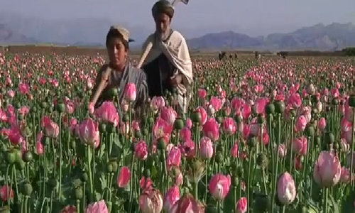 Illegal opium cultivation stays on a high in Afghanistan