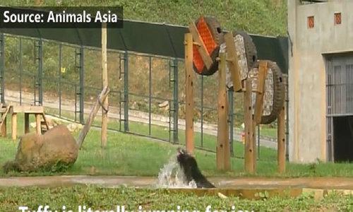 Rescued bear makes a splash on return to freedom in Vietnam ed cf vid