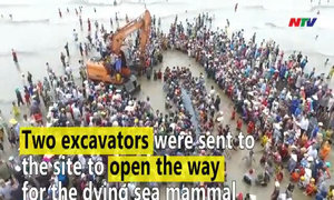 Hundreds of people drag whale back into the sea in Nghe An