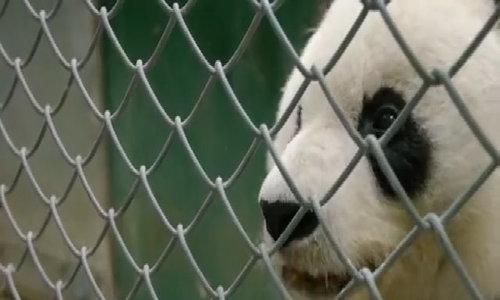 Ultrasound for geriatric giant panda