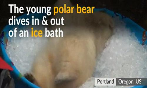 Polar bear enjoys playing in ice bath