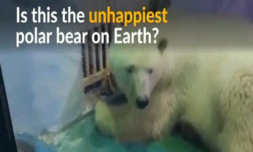 The world's unhappiest polar bear?