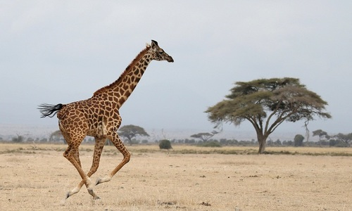'Silent extinction' of giraffes in Africa