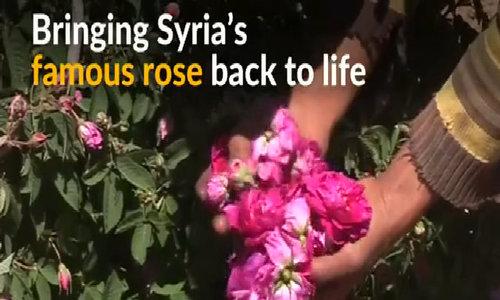 Despite Syrian war, Damascene rose blooms once again