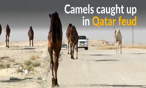 Qatar feud hurts camels stuck at Saudi border