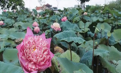 Meet the Willy Wonka of Vietnam's lotus kingdom