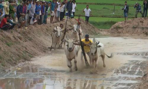 Days of thunder: Bull racing in Vietnam's Mekong Delta